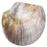 Моносерьга rockah. Siren's Treasures из половинки натуральной раковины, фото